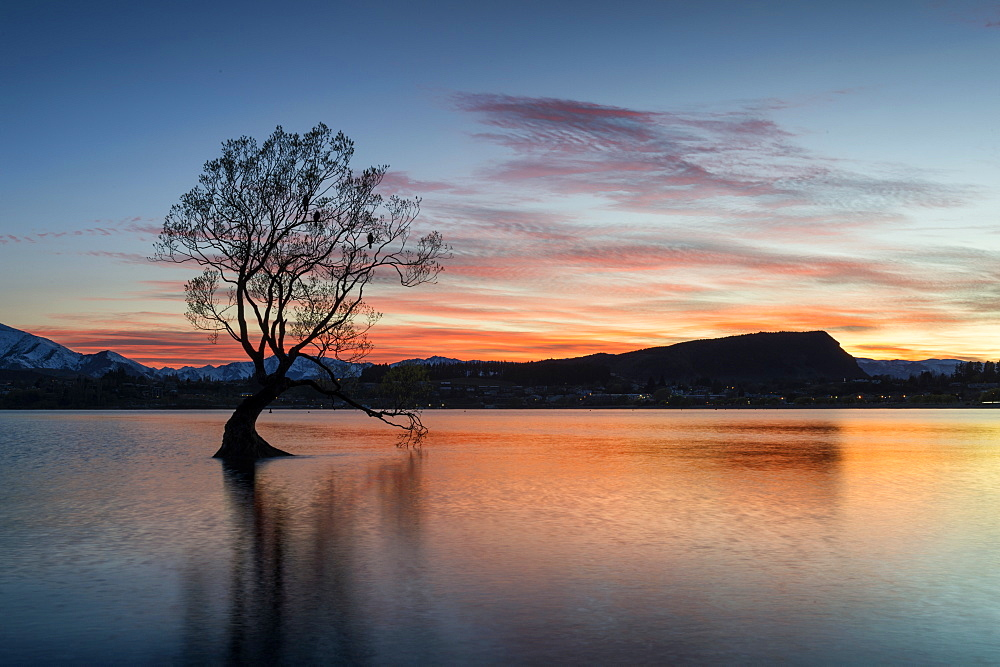 The Wanaka Tree with dramatic sky at sunrise, Lake Wanaka, Otago, South Island, New Zealand, Pacific
