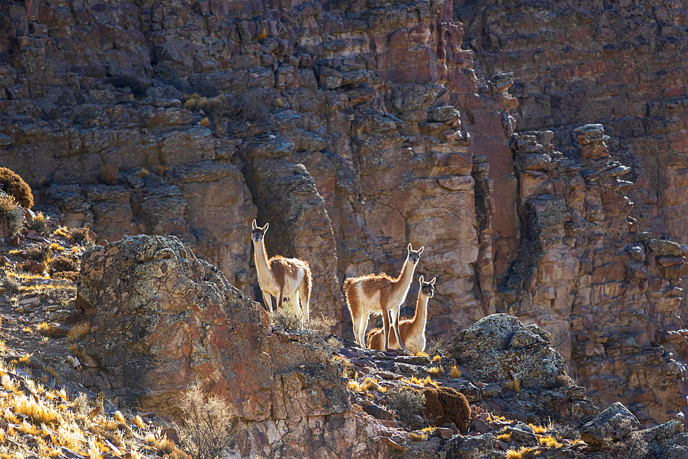 Three Guanaco in Pinturas Canyon, Patagonia, Argentina, South America