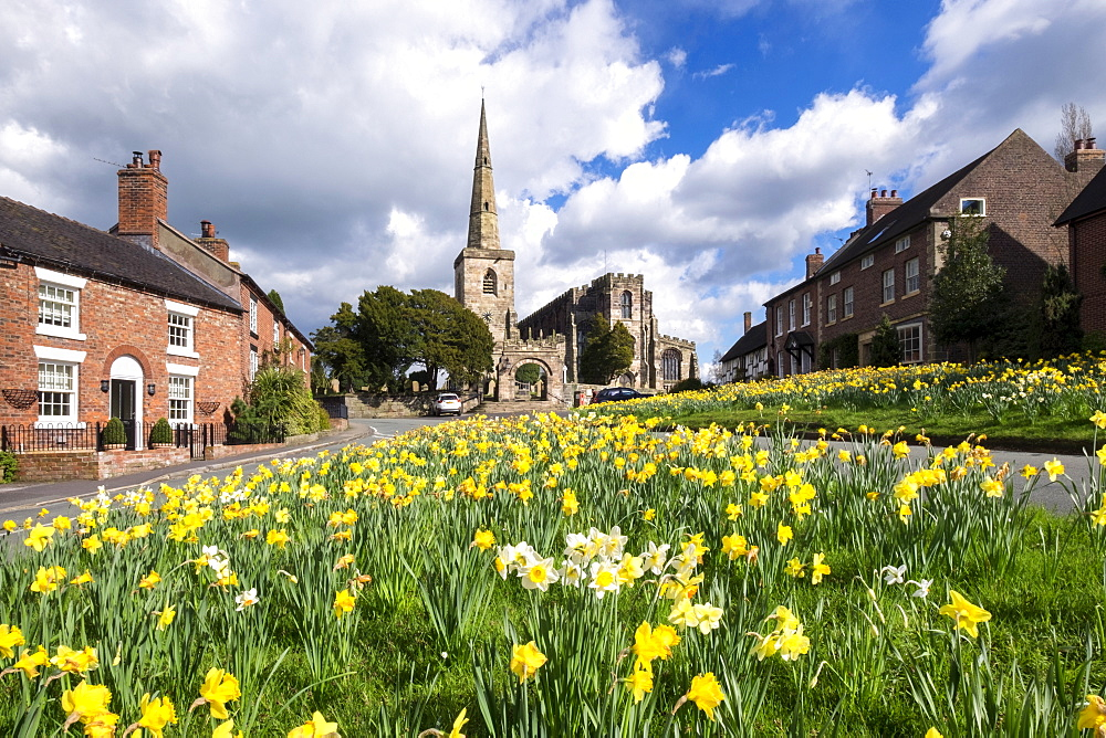 Daffodils on the Village Green, Astbury, Cheshire, England. - 1306-80