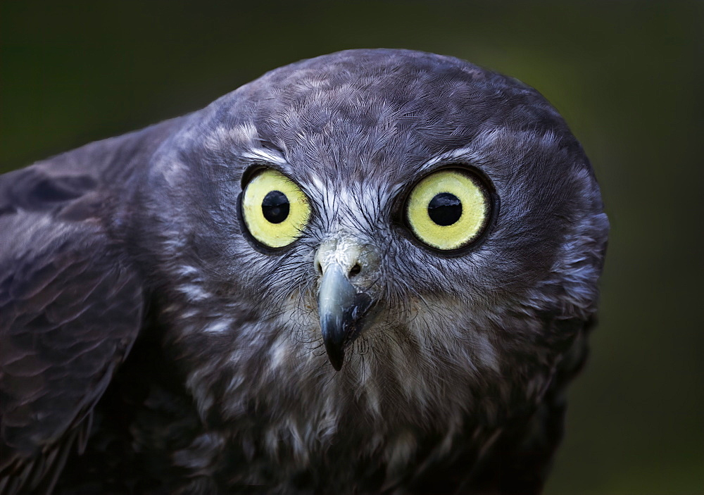 Barking Owl (Ninox connivens), Queensland, Australia, Pacific
