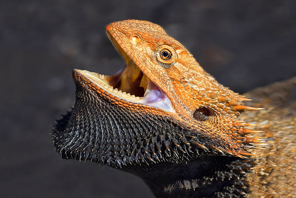 Bearded Dragon (Pogona vitticeps), Northern Territory, Australia, Pacific