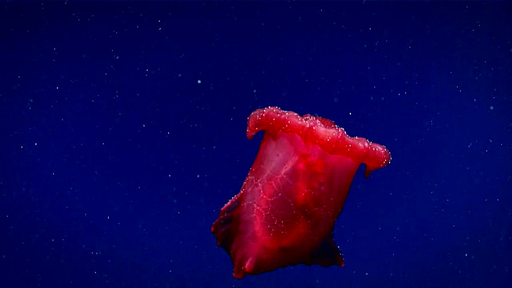 Swimming Sea Cucumber