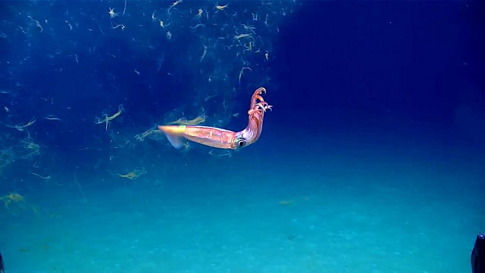 Shortfin Squid with Ink Cloud