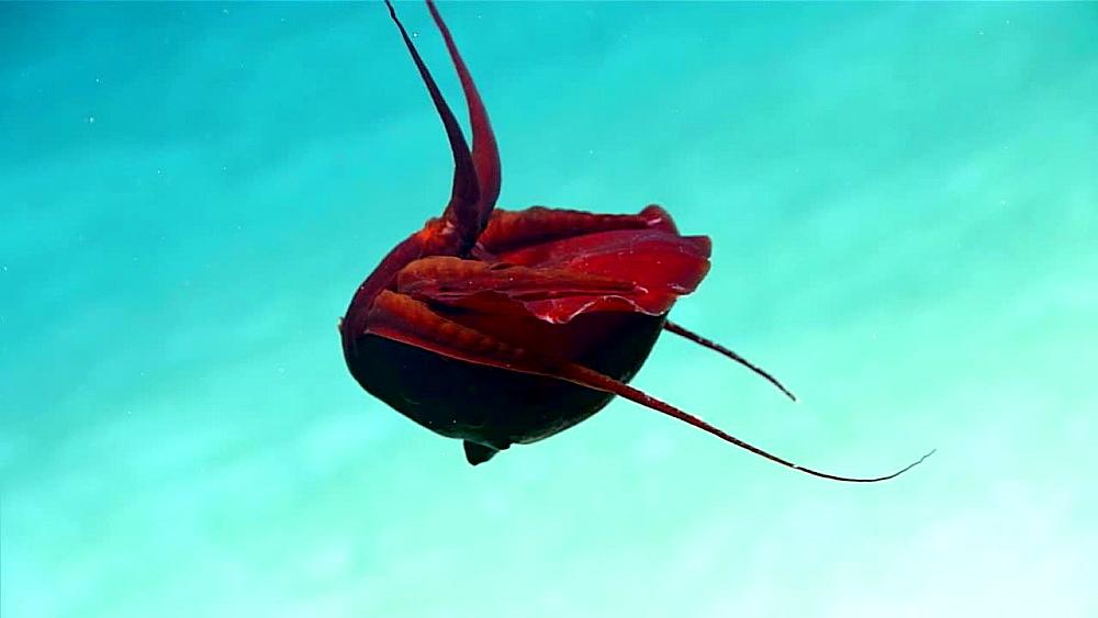 Bizarre deep-sea squid