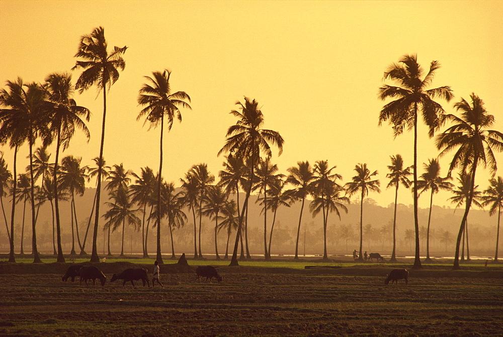 Rice fields in countryside around Panaji, Goa, India, Asia - 142-3897
