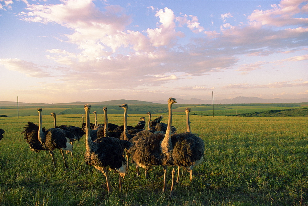Ostrich farms, South Africa, Africa
