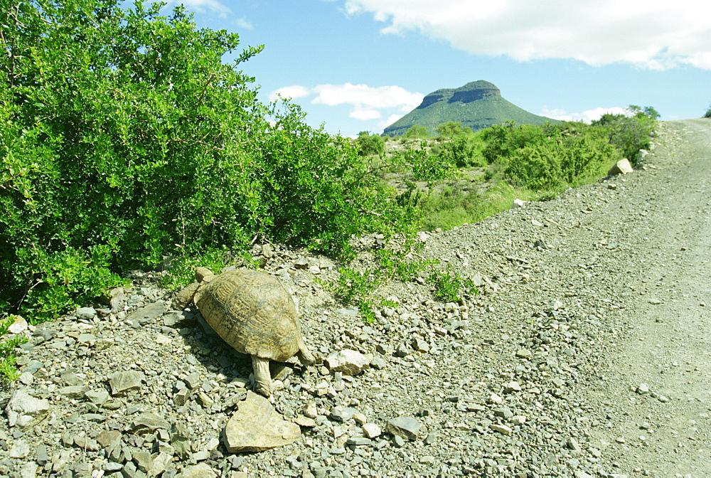Tortoise near the Karoo town of Graaff-Reinet, South Africa, Africa