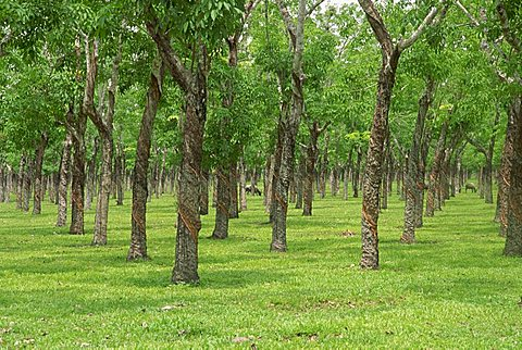 Trees in a rubber plantation at Vung Tau, Vietnam, Indochina, Southeast Asia, Asia