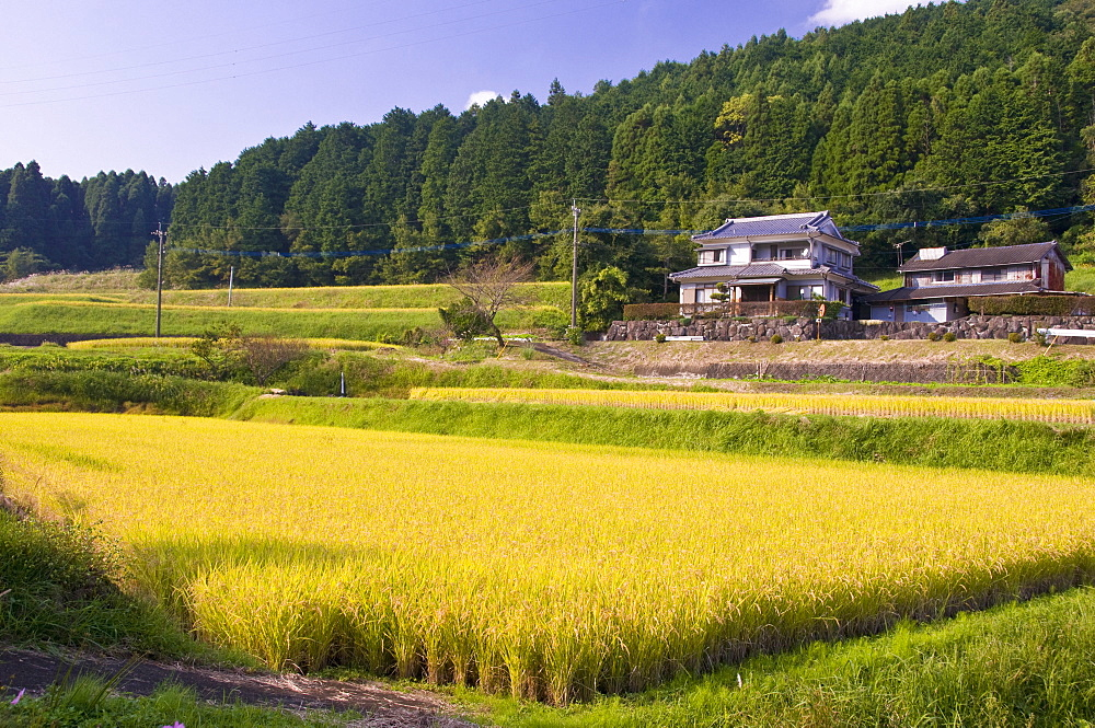 Terraced rice fields ready for harvesting, near Oita, Kyushu, Japan, Asia - 16-3262