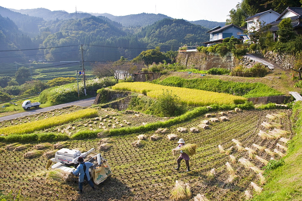Threshing freshly harvested rice in a small terraced paddy field near Oita, Kyushu, Japan, Asia - 16-3270