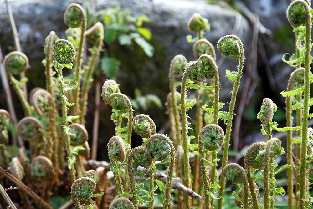 Young bracken shoots, Dartmoor National Park, Devon, England, United Kingdom, Europe - 166-5455