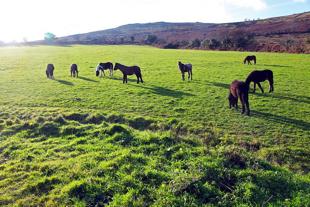 Dartmoor ponies at Corndonford Farm, Dartmoor National Park, Devon, England, United Kingdom, Europe - 166-5496