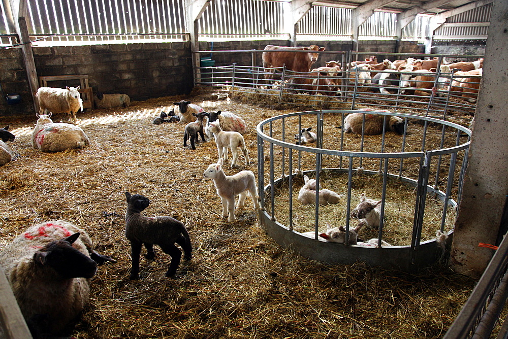 Lambs in lambing shed on a farm, Dartmoor National Park, Devon, England, United Kingdom, Europe - 166-5522