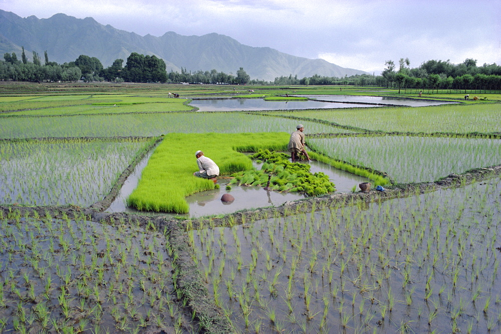 Stock photo of Paddy Fields, farmers planting rice, Kashmir, India