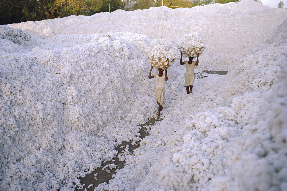 The cotton harvest, Gujarat State, India