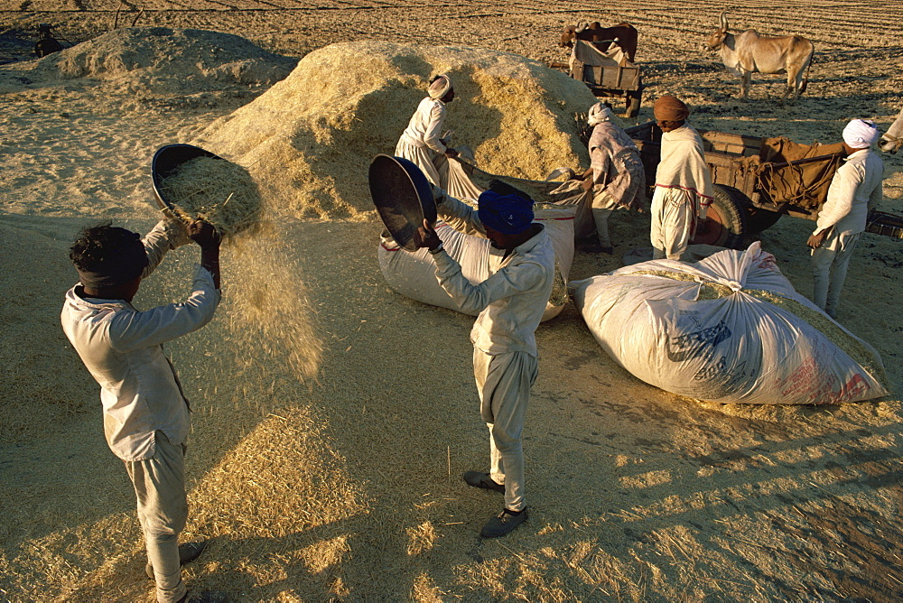 Winnowing after wheat harvest, India, Asia