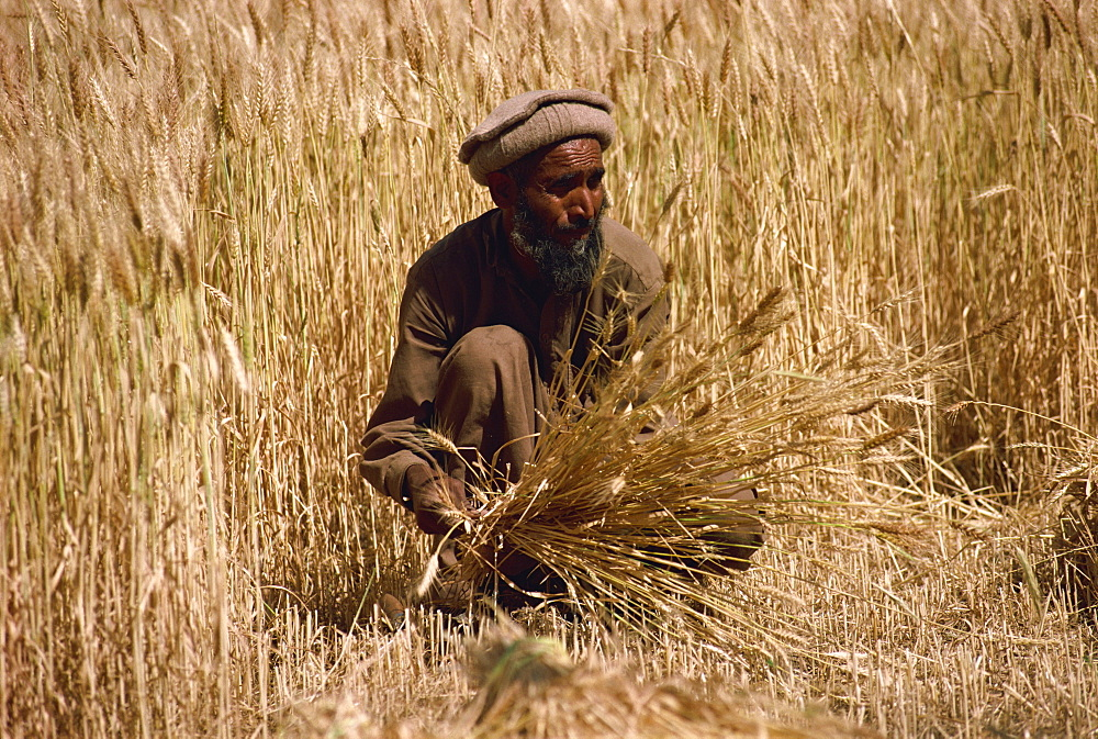 Cutting wheat with sickle and then stooking, Pakistan, Asia - 188-4286