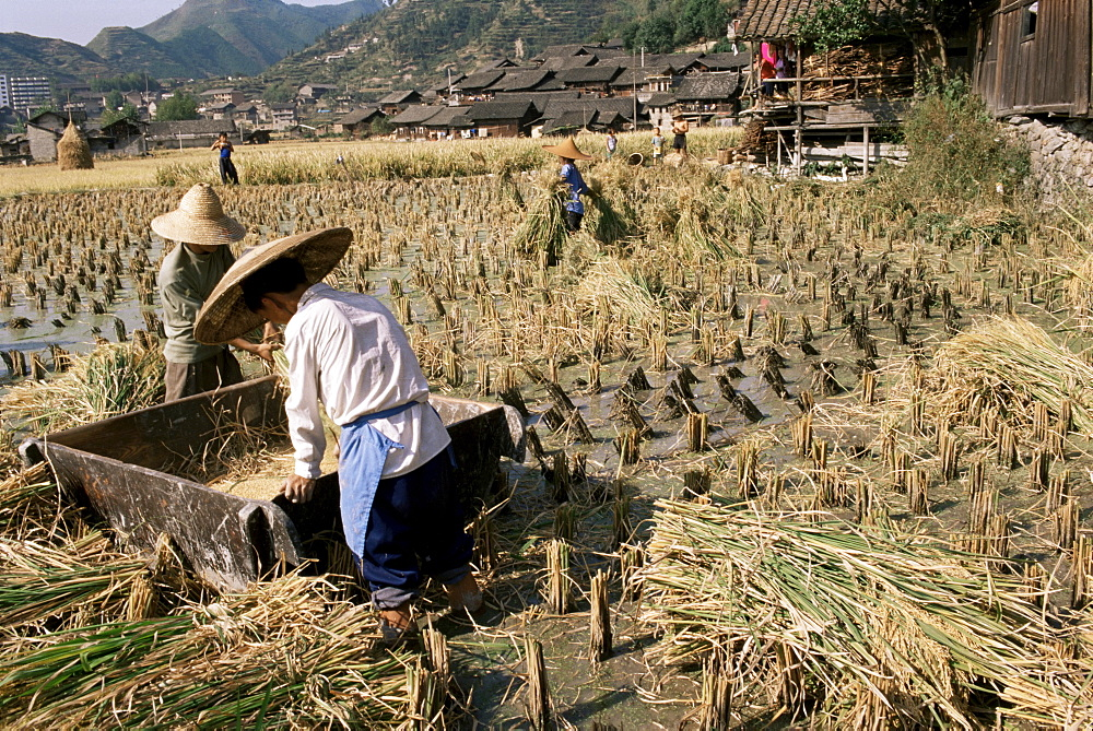 Rice being cut and threshed, Guizhou province, China, Asia