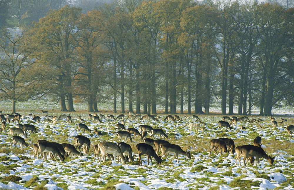 Deer in snow, Petworth, Sussex, England, United Kingdom, Europe - 188-5790