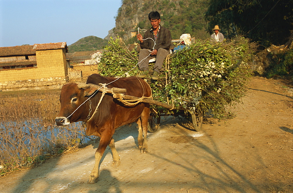 Oxen bringing in wood, Sani village, Qiubei County, Yunnan, China, Asia - 188-6710