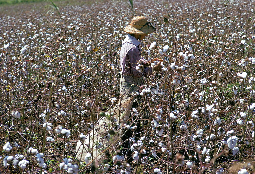 Cotton picking, Sao Paolo State, Brazil, South America