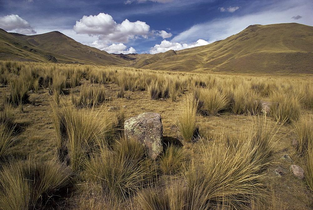 Bunch grass on windswept Altiplano, Puno, Cuzco, Peru, South America