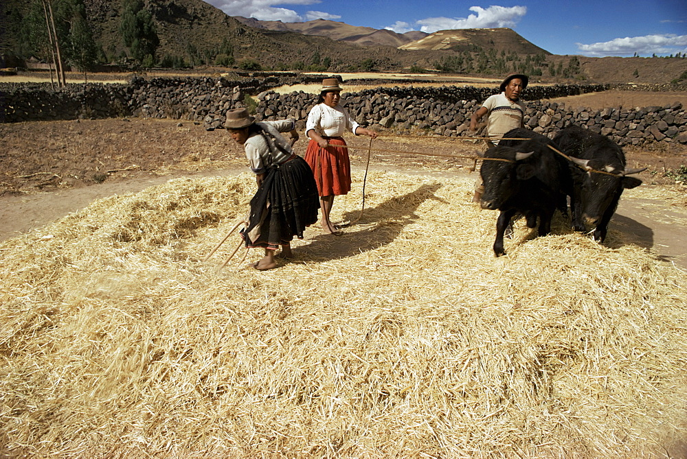 Threshing wheat at Racchi, Cuzco area, High Andes, Peru, South America