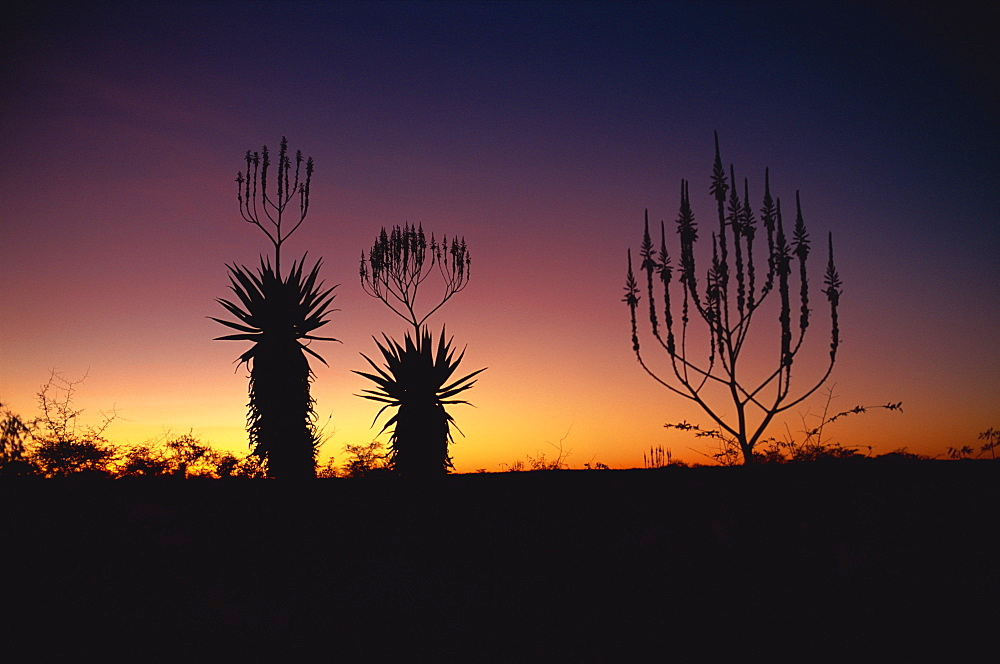 Aloe species in desert scrubland on the border of Botswana, Namibia, Africa - 197-2418