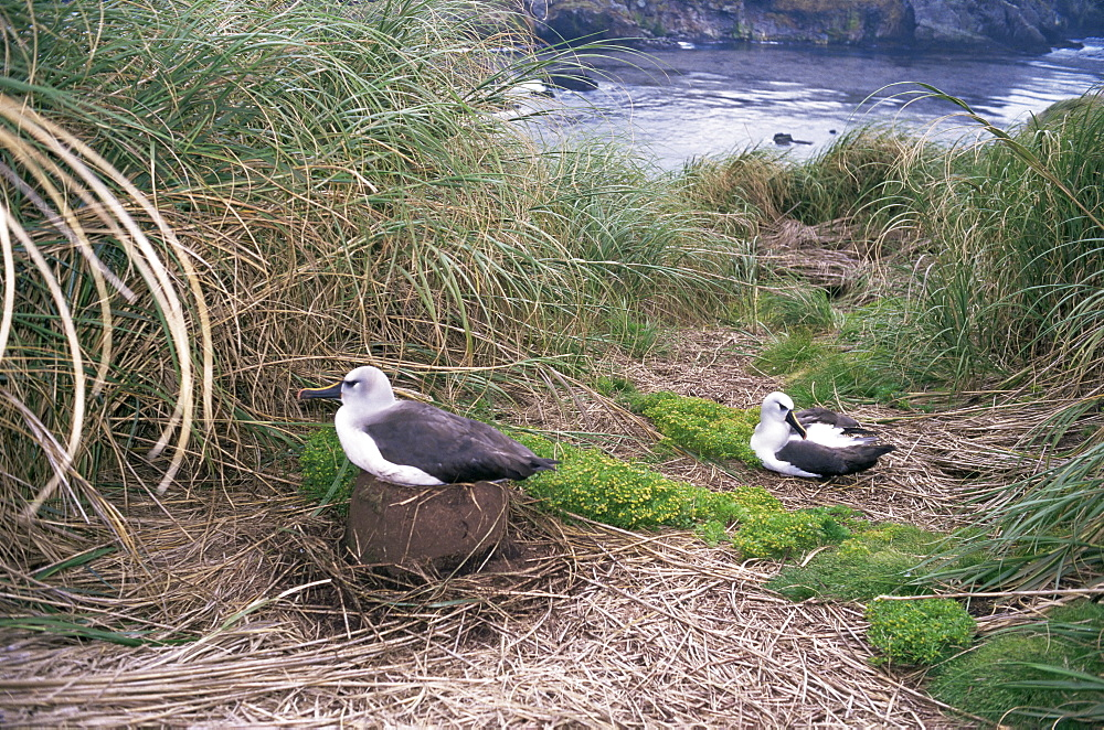 Yellow-nosed albatross, Gough Island, Tristan da Cunha Group, South Atlantic