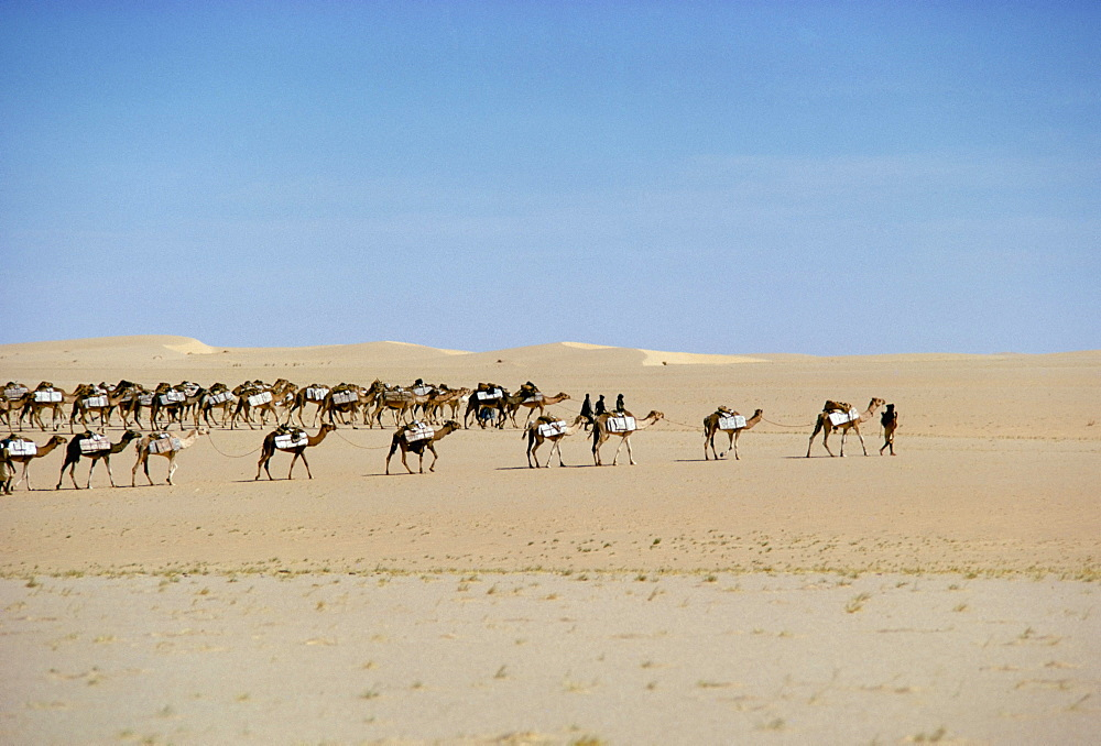 Camel train carrying salt, Taoudenni, Timbuktoo, Mali, Africa