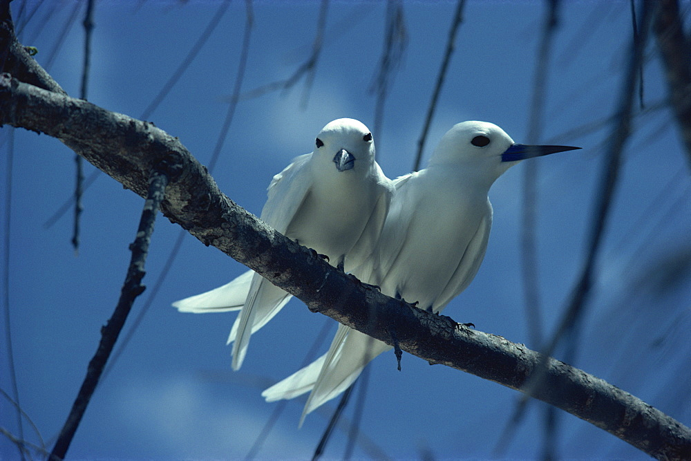Fairy terns, Seychelles, Indian Ocean, Africa - 2-15531