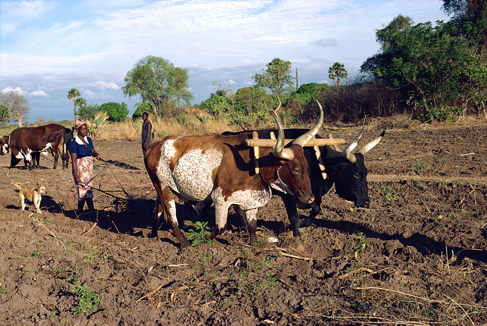 Oxen ploughing field with woman behind, Zambia, Africa