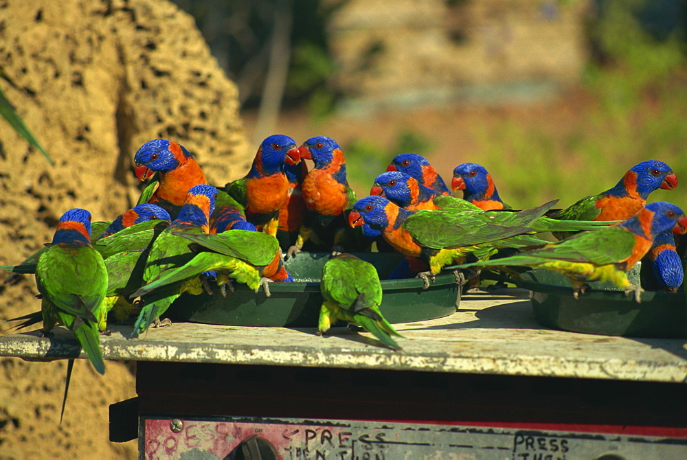 Rainbow lorikeets, Northern Territory, Australia, Pacific - 2-20838