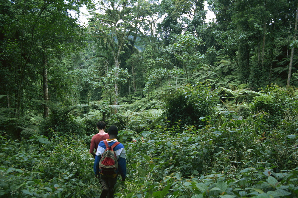 Tracking mountain gorillas, Bwindi Impenetrable Forest, UNESCO World Heritage Site, Uganda, East Africa, Africa