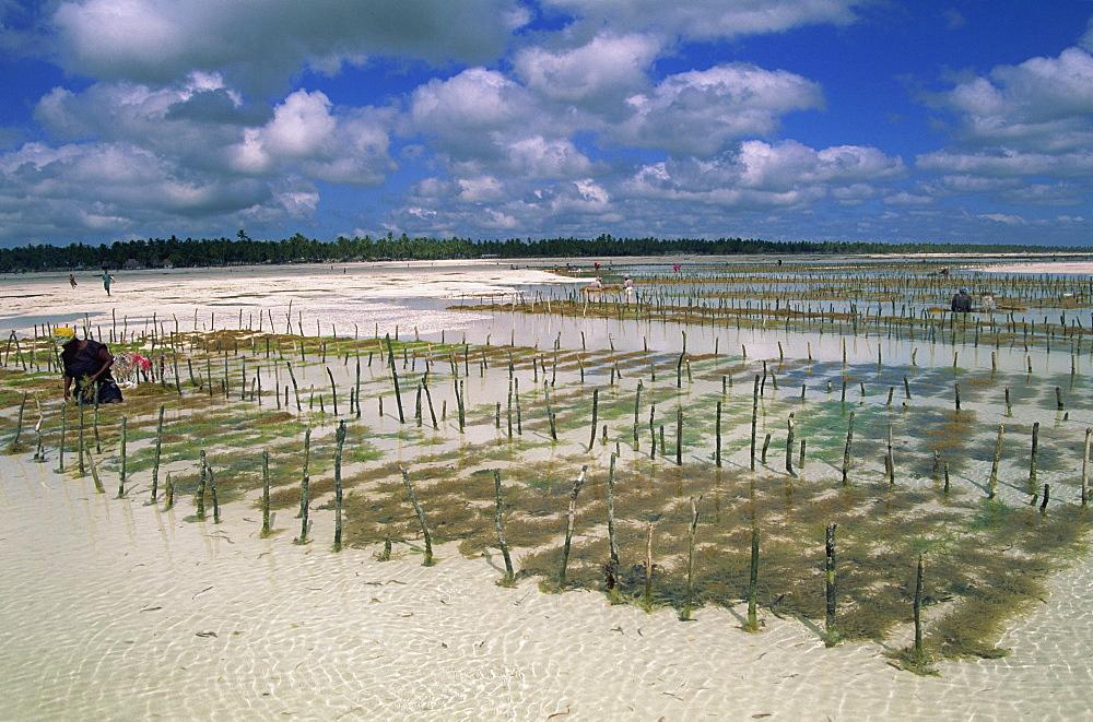 Beds of seaweed, an export crop, Jambiani Beach, Zanzibar, Tanzania, East Africa, Africa - 225-3509