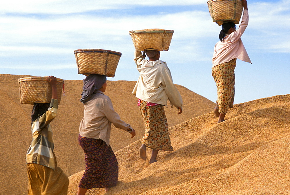 Farmers with rice in Myanmar (Burma), Asia - 238-5889