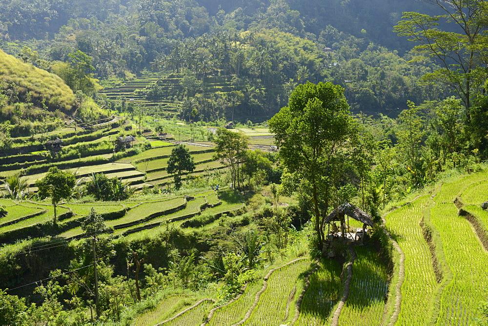 Rice fields, Karangasem, Bali, Indonesia, Southeast Asia, Asia