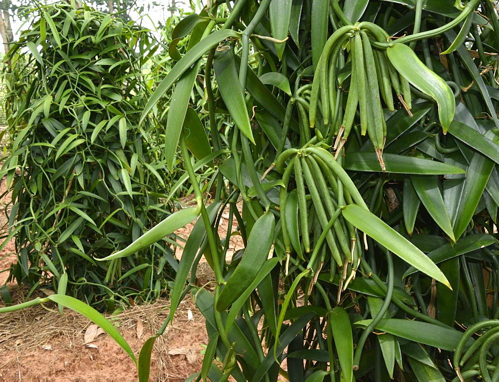 Vanilla plantation, Vietnam, Indochina, Southeast Asia, Asia - 238-6349