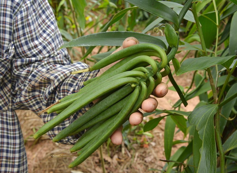 Vanilla plantation, Vietnam, Indochina, Southeast Asia, Asia - 238-6351