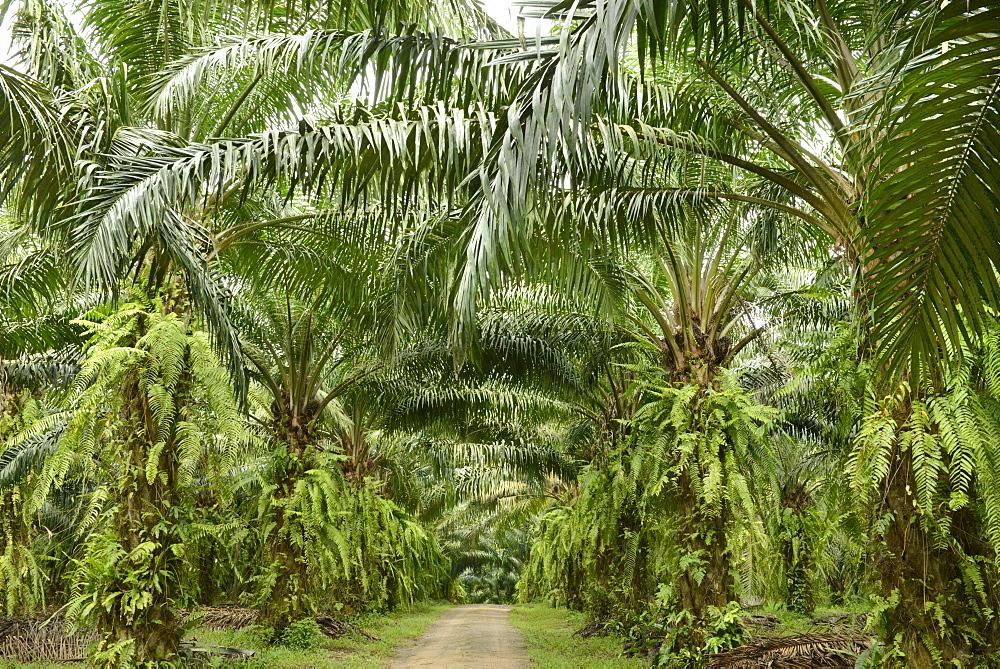 Palm oil plantation, Trang, Thailand, Southeast Asia, Asia - 238-6375