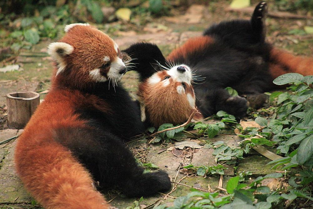 Red Panda, Chengdu Panda Reserve, Sichuan, China, Asia  - 238-6462