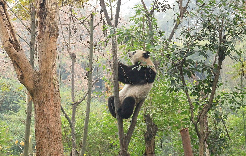Giant Panda, Chengdu Panda Reserve, Sichuan, China, Asia  - 238-6465