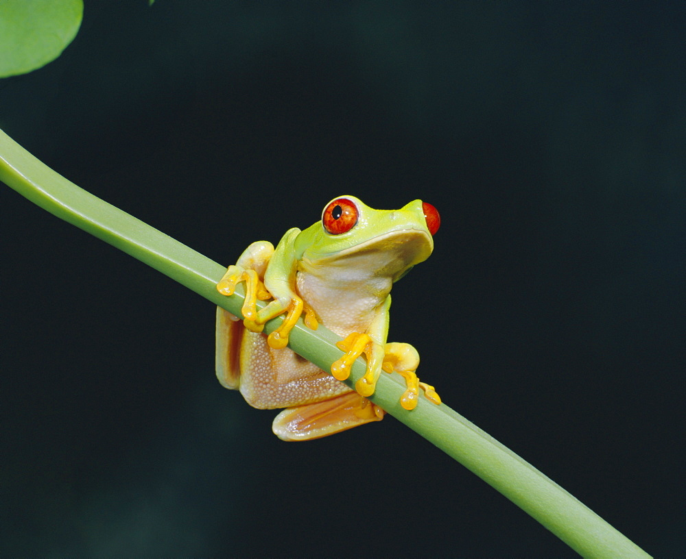 Red eyed tree frog (Agalythnis Callidryas), South America - 251-1070
