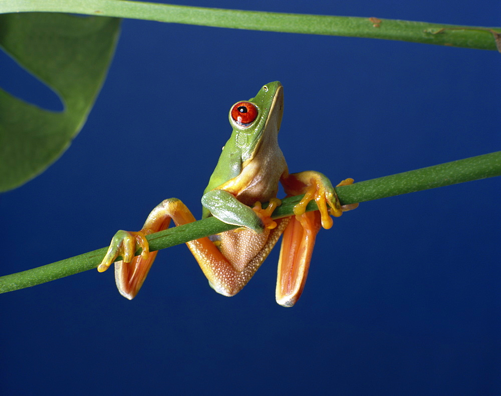 Red-eyed tree frog (Agalythnis callidryas), South America
