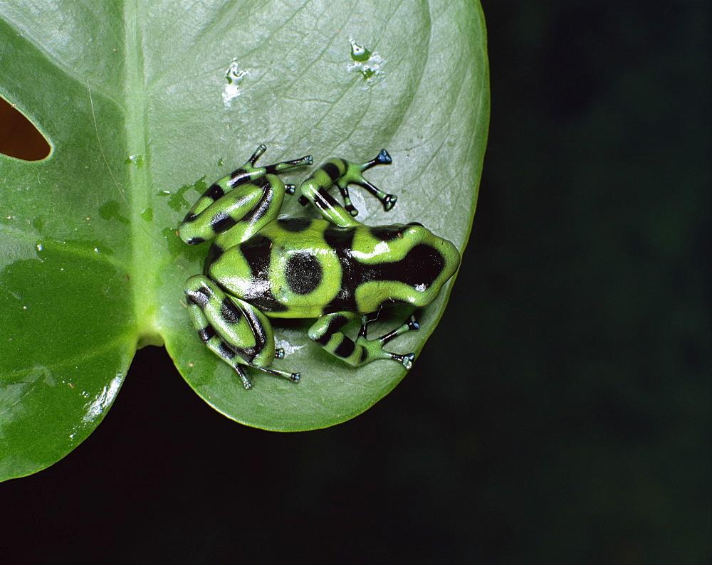 Photo of Poison arrow tree frog