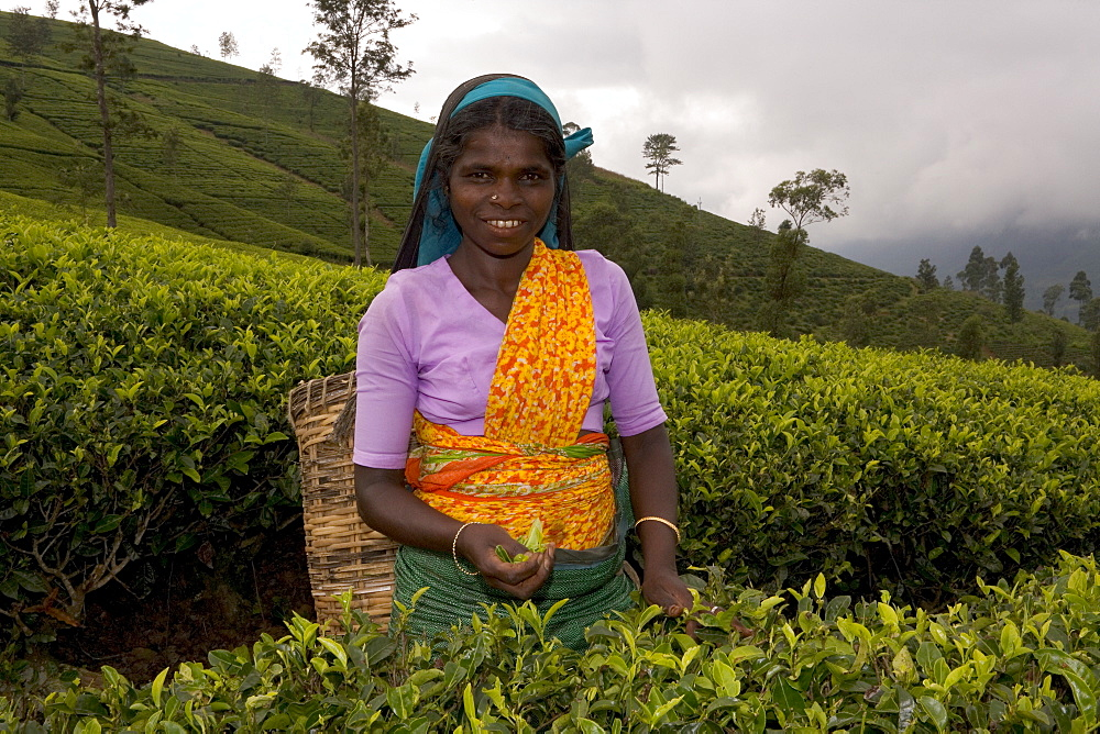 Portrait of a woman tea picker, Tea Hills, Hill Country, Nuwara Eliya, Sri Lanka, Asia