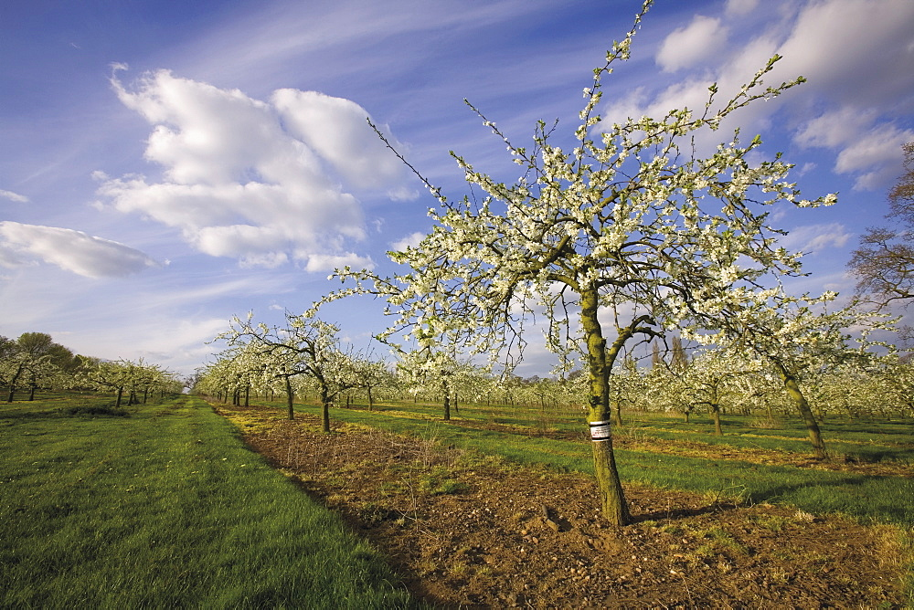 Blossom in the apple orchards in the Vale of Evesham, Worcestershire, England, United Kingdom, Europe