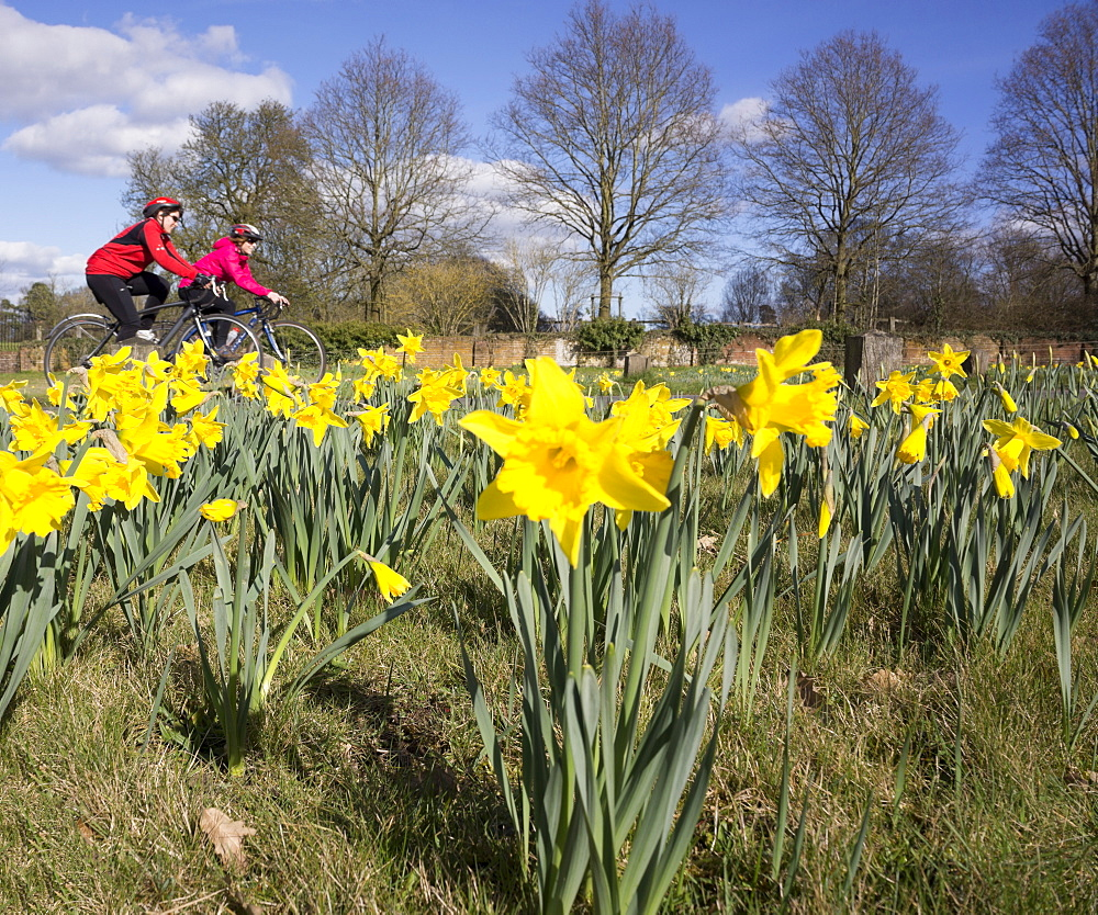 Two women cyclists and yellow daffodil wild flowers growing wild in the countryside, United Kingdom, Europe
