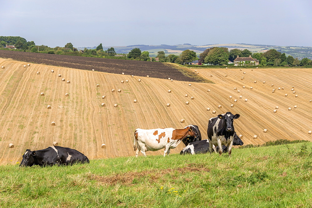 Cattle in field with farmland beyond, United Kingdom, Europe  - 255-8995
