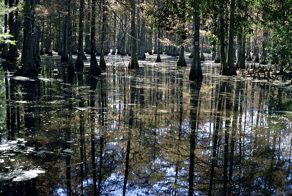 Cypress swamp, Cypress Gardens, near Charleston, South Carolina, United States of America, North America